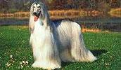 Afghanischer Windhund Information, Bilder, Preis