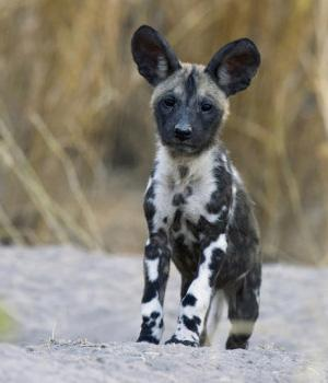 Afrikanischer Wildhund Information, Bilder, Preis