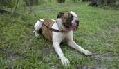 Alapaha Blue Blood Bulldog Information, Bilder, Preis