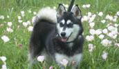 Alaskan Klee Kai Information, Bilder, Preis