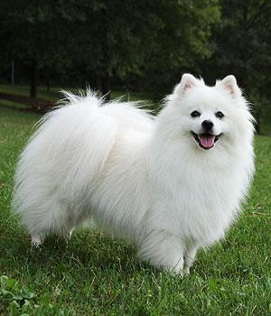 American Eskimo Dog Information, Bilder, Preis