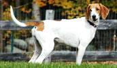 American Foxhound Information, Bilder, Preis
