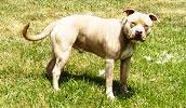 American Pit Bull Terrier Information, Bilder, Preis