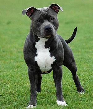 American Staffordshire Terrier Information, Bilder, Preis