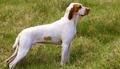 Ariege Pointer Information, Bilder, Preis