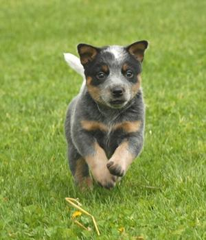 Australian Cattle Dog Information, Bilder, Preis