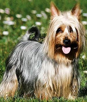 Australian Silky Terrier Information, Bilder, Preis