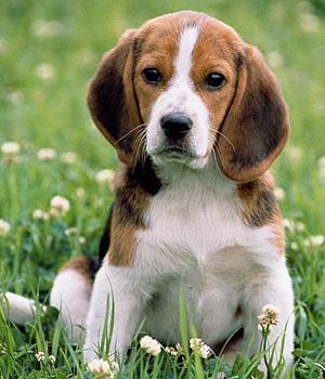 Beagle Information, Bilder, Preis