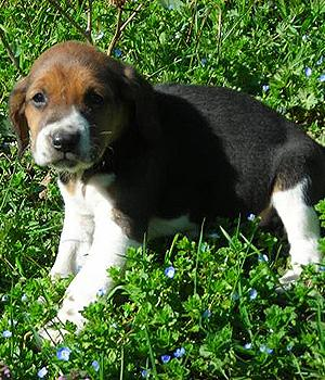 Beagle Harrier Information, Bilder, Preis
