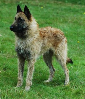 Belgian Shepherd Laekenois Information, Bilder, Preis