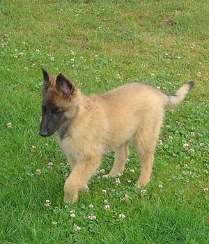 Belgian Shepherd Tervuren Information, Bilder, Preis
