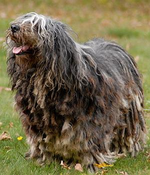 Bergamasker Hirtenhund Information, Bilder, Preis