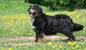 Berner Sennenhund Information, Bilder, Preis