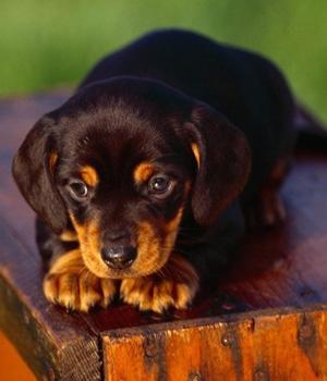 Black and Tan Coonhound Information, Bilder, Preis