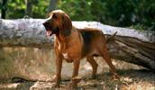 Bloodhound Information, Bilder, Preis