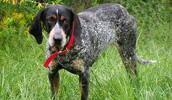Bluetick Coonhound Information, Bilder, Preis