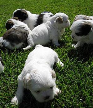 Bukovina Sheepdog Information, Bilder, Preis