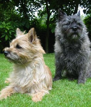 Cairn Terrier Information, Bilder, Preis