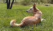 Carolina Dog Information, Bilder, Preis