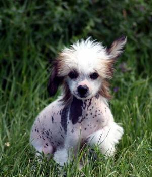 Chinesischer Schopfhund Information, Bilder, Preis