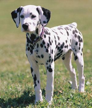 Dalmatiner Information, Bilder, Preis