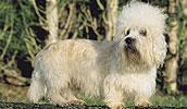 Dandie Dinmont Terrier Information, Bilder, Preis