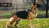 Deutscher Schäferhund Information, Bilder, Preis