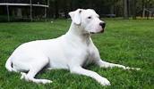 Dogo Argentino Information, Bilder, Preis
