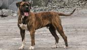 Dogo Canario Information, Bilder, Preis