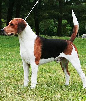 English Foxhound Information, Bilder, Preis