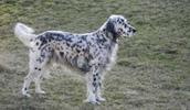 English Setter Information, Bilder, Preis