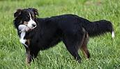 English Shepherd Information, Bilder, Preis