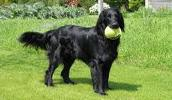 Flat Coated Retriever Information, Bilder, Preis