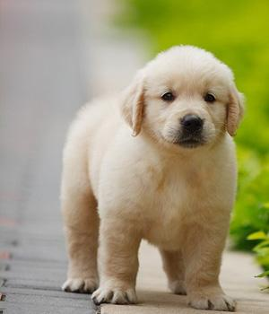 Golden Retriever Information, Bilder, Preis