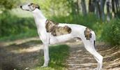 Greyhound Information, Bilder, Preis