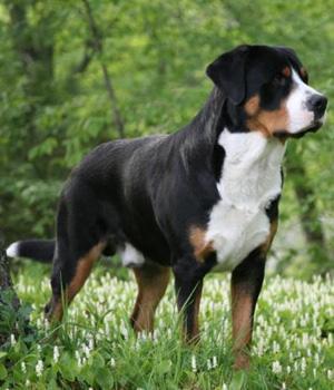 Grosser Schweizer Sennenhund Information, Bilder, Preis