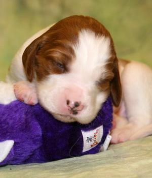 Irish Red and White Setter Information, Bilder, Preis