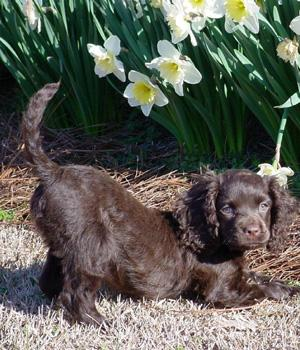 Irish Water Spaniel Information, Bilder, Preis