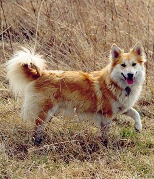 Islandhund Information, Bilder, Preis