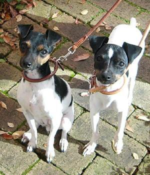 Japanischer Terrier Information, Bilder, Preis