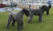 Kerry Blue Terrier Information, Bilder, Preis