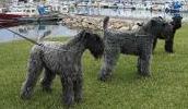 Kerry Blue Terrier Information, Bilder, Preis