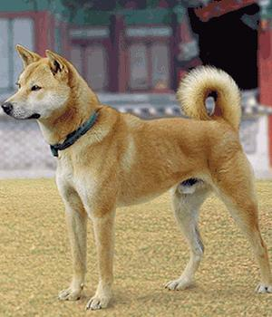 Korean Jindo Dog Information, Bilder, Preis