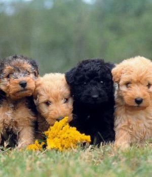 Lakeland Terrier Information, Bilder, Preis