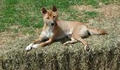 Neuguinea Dingo Information, Bilder, Preis