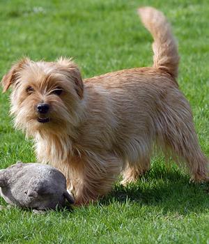 Norfolk Terrier Information, Bilder, Preis