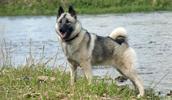 Norwegischer Elchhund grau Information, Bilder, Preis