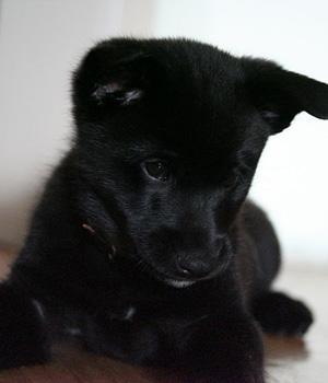 Norwegischer Elchhund schwarz Information, Bilder, Preis