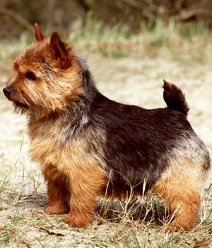 Norwich Terrier Information, Bilder, Preis