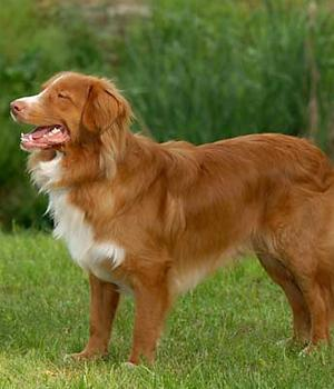 Nova Scotia Duck Tolling Retriever Information, Bilder, Preis